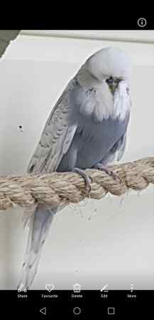 Missing Budgie Birds in Romford