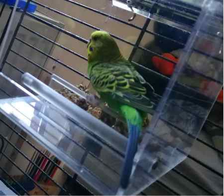 Missing Budgie Birds in Dartford