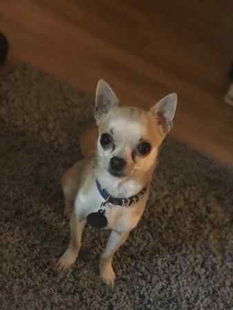 Missing Chihuahua Dog in Kenley