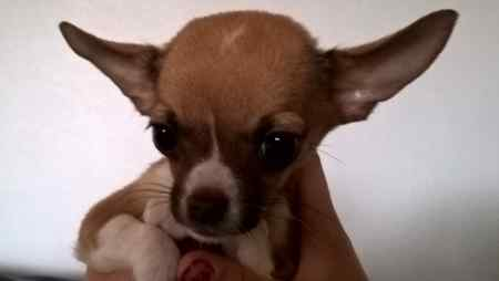 Missing Chihuahua Dog in Durham