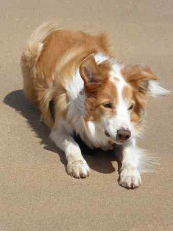 Missing Collie Dog in Leek