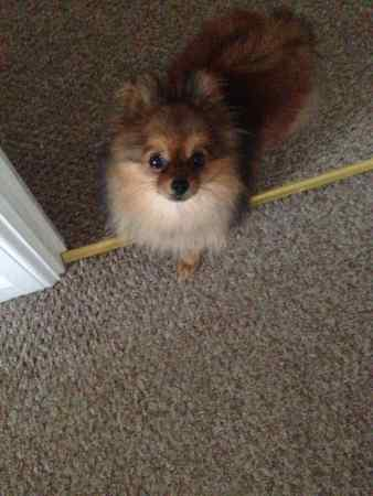 Missing Pomeranian Dog in Clydach Vale