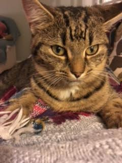 Lost Domestic Short Hair Cat in Guildford