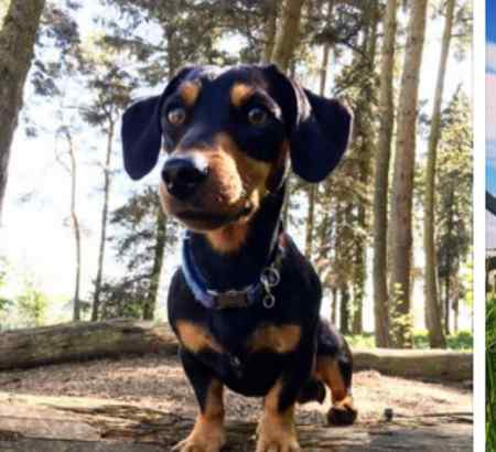 Missing Dachshund Dog in Farringdon