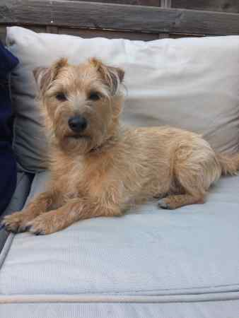 Missing Terrier Dog in Clapham