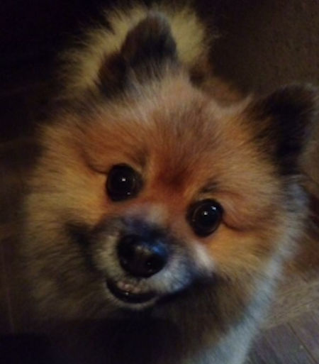 Missing Spitz Dog in Smarden