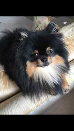 Missing Pomeranian Dog in Waddington Nr Clitheroe