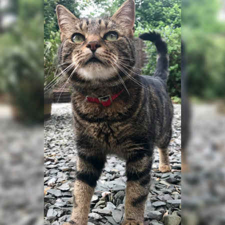 Lost Domestic Short Hair Cat in Croydon