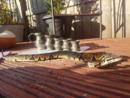 Missing Python Snake in Upton, Chester