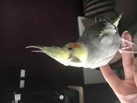 Missing Cockatiel Bird in Norwich