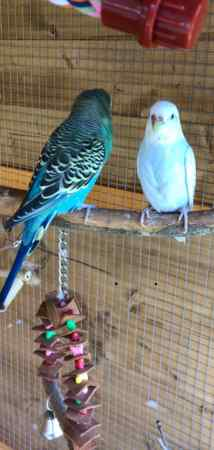 Missing Budgie Bird in Harlow