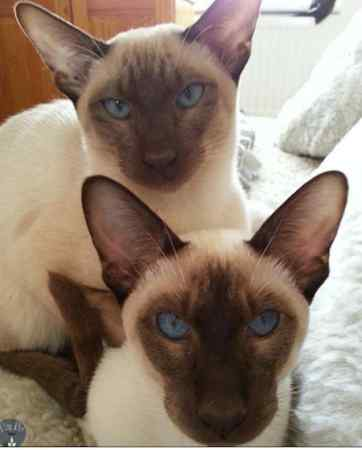 Missing Siamese Cat in Chester