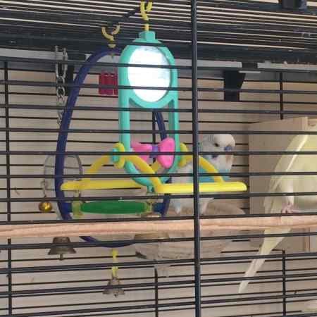 Missing Budgie Bird in Burgess Hill