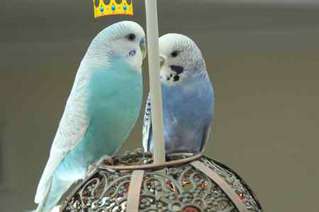Missing Budgie Bird in Westminster