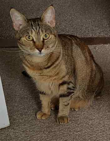 Missing Tortoiseshell Cats in Whitstable