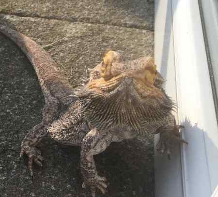 Missing Lizard Exotic in ST.Leonards On Sea