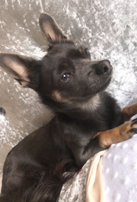 Missing Chihuahua Dog in Tamworth