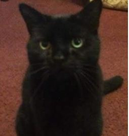 Missing Domestic Short Hair Cats in East Ham
