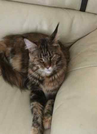 Missing Maine Coon Cats in Barton, Preston