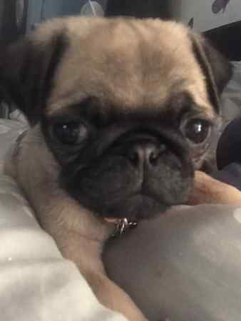 Missing Pug Dog in Ipswich Kesgrave