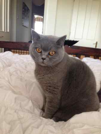 Missing British Blue Cats in Lisburn