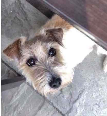 Missing Jack Russell Dog in Tickenham
