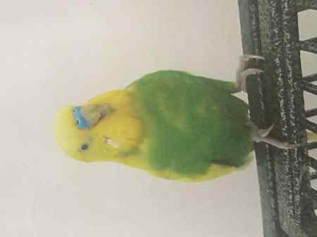Missing Budgie Birds in Barking Riverside