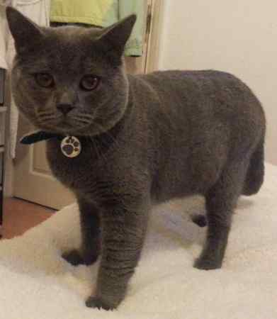 Missing British Short Hair Cat in Welling