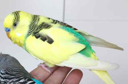 Missing Budgie Bird in West Ealing