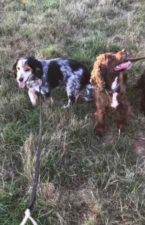 Missing Spaniel Dog in Ottery St Mary