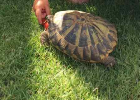 Missing Tortoise Exotic in Whitstable