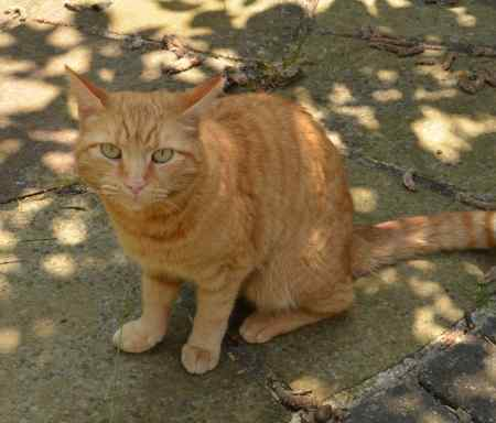 Missing British Short Hair Cat in Hatfield, Doncaster