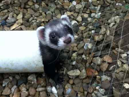 Missing Unknown - Other Ferrets in Welwyn Garden City