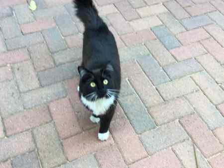 Missing British Short Hair Cat in Falmouth