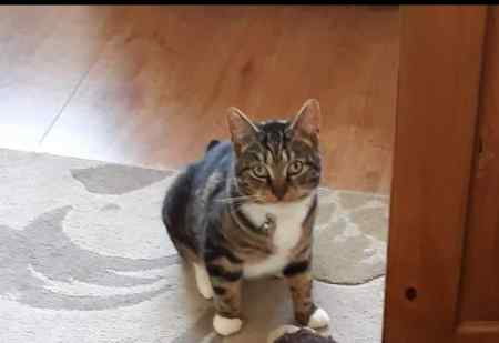 Missing Tabby Cat in STOCKPORT