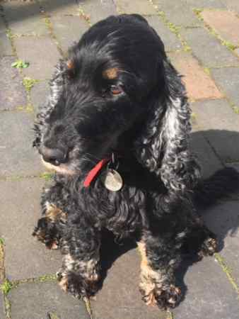 Missing Spaniel Dog in Trebetherick