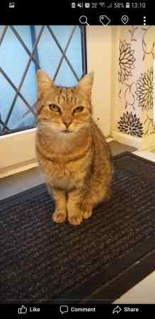 Missing Tabby Cat in Leicester