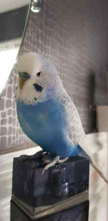 Missing Budgie Birds in Waltham Cross