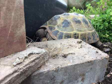 Missing Tortoise Exotic in Castlemorton