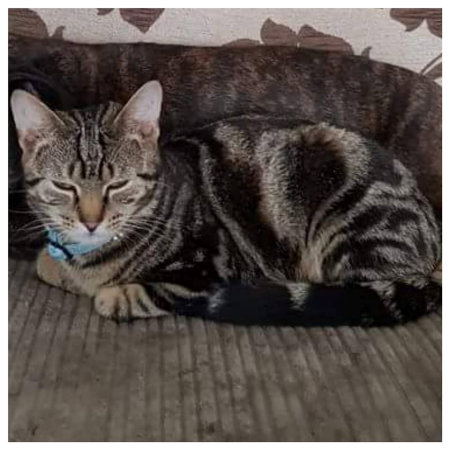 Missing Tabby Cat in DUDLEY