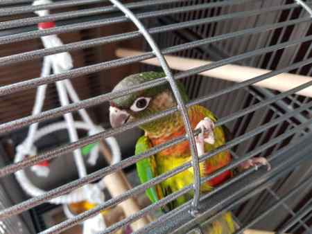 Lost Parrot, Parakeet Bird in NEWCASTLE UPON TYNE