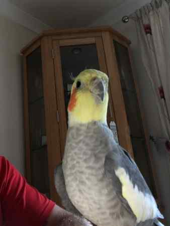 Missing Cockatiel Birds in Meopham