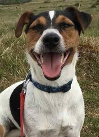 Missing Jack Russell Dog in Bude
