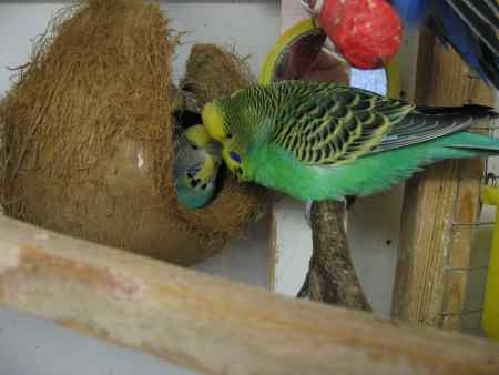 Missing Budgie Bird in Horsforth