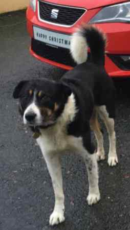 Missing Collie Dog in Clady