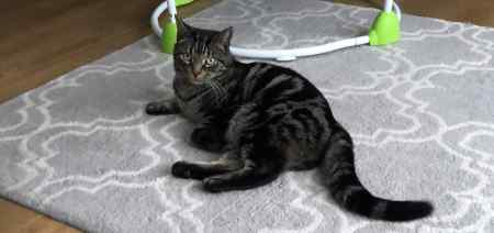 Missing Tabby Cat in Chelmsford