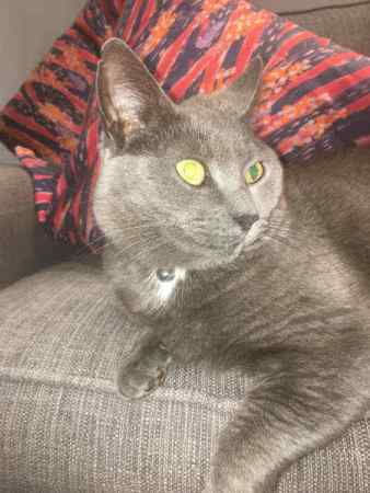 Missing British Blue Cats in Cheltenham