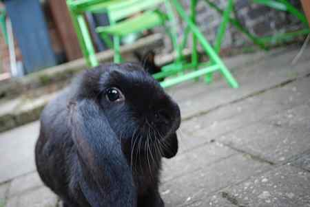 Missing Lop Eared Rabbits in Chandlers Ford