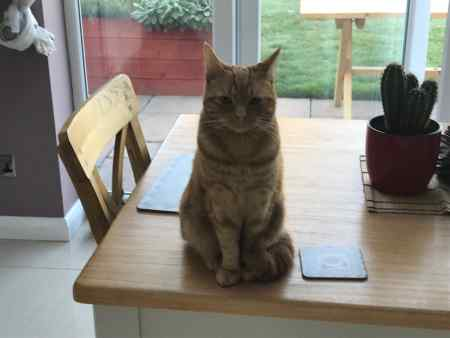 Missing Domestic Short Hair Cats in Edlesborough, Dunstable