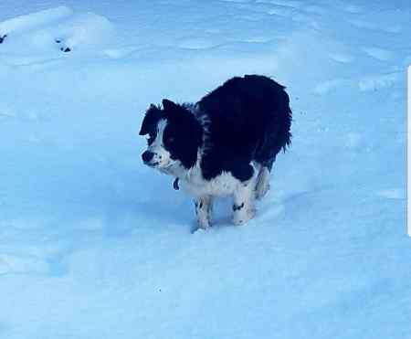 Missing Collie Dog in S33